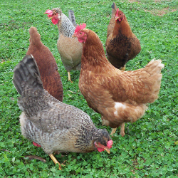 laying-hens